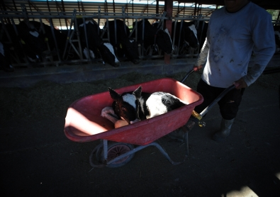 A veal calf is wheeled away from his mother, © Jo-Anne McArthur, We Animals